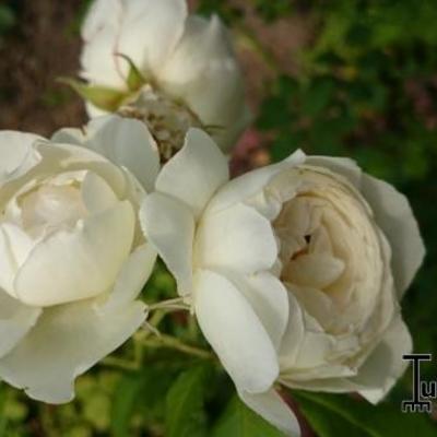 Rosa 'Claire Austin' -