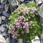 Kruiptijm - Thymus praecox 'Minor'