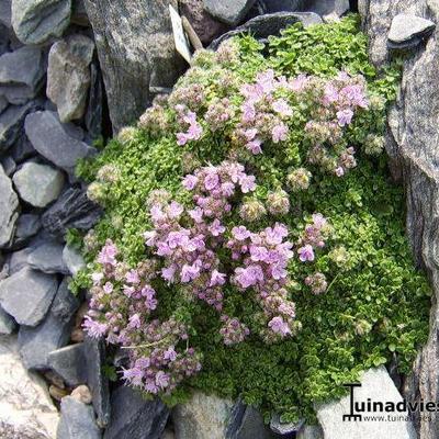 Thymus praecox 'Minor' -
