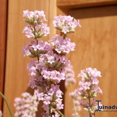 Lavandula angustifolia 'Felice Pink' -