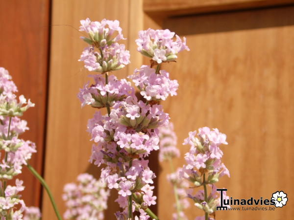 lavendel lavandula angustifolia 39 felice pink 39. Black Bedroom Furniture Sets. Home Design Ideas