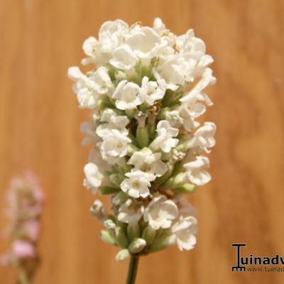 Lavandula angustifolia `Felice White` -