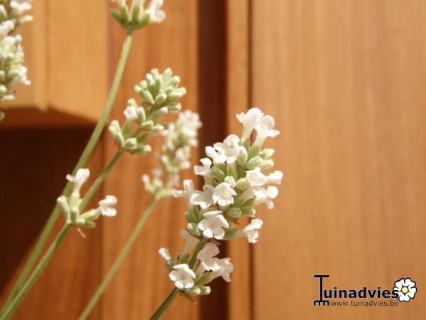 lavendel lavandula angustifolia felice white. Black Bedroom Furniture Sets. Home Design Ideas