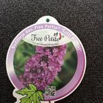 Buddleja davidii FREE PETITE 'Dark Pink' - Vlinderstruik, dwergvlinderstruik - Buddleja davidii FREE PETITE 'Dark Pink'