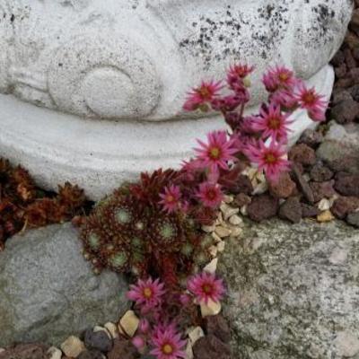 Sempervivum pittonii -