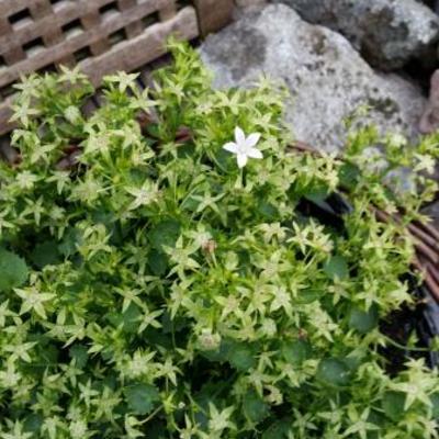 Campanula Addenda 'White Star' -