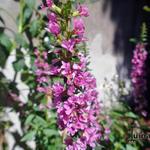 Lythrum salicaria 'Rosy Gem' - Kattenstaart, Grote kattenstaart - Lythrum salicaria 'Rosy Gem'