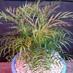 Mahonia eurybracteata 'Soft Caress' - Chinese mahoniestruik - Mahonia eurybracteata 'Soft Caress'