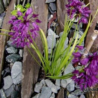Allium cyathophorum var. farreri -
