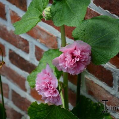 Alcea rosea 'Double Pink' -