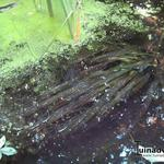 Reuzenvallisneria - Vallisneria gigantea