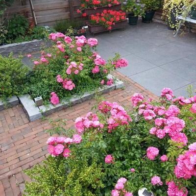 Rosa 'Heidetraum' -
