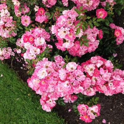 Rosa 'Peaking'  -