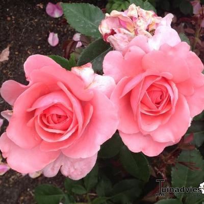 Rosa 'Elaine Paige' -