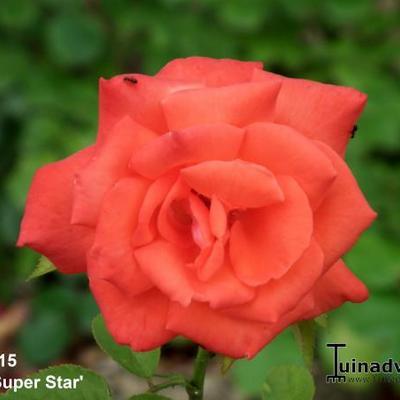 Rosa 'Tropicana'  -