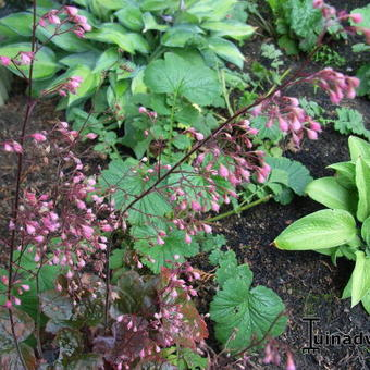 Heuchera 'Florist's Choice'