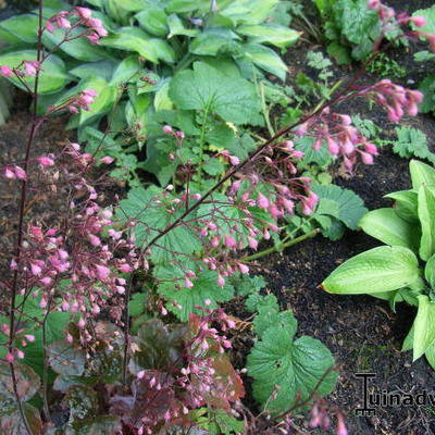 Heuchera 'Florist's Choice' -
