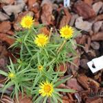 Inula ensifolia - Alant - Inula ensifolia