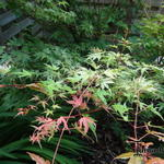 Acer palmatum var. dissectum 'Green Globe' - Acer palmatum var. dissectum 'Green Globe' - Japanse esdoorn