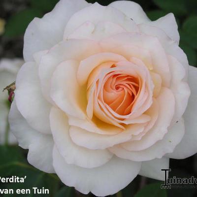 Rosa 'Perdita'  -
