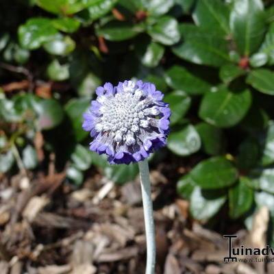 Primula capitata subsp. mooreana -