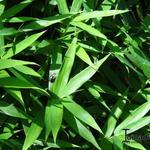 Pleioblastus pygmaeus 'Distichus' - Dwergbamboe, Varenloofbamboe - Pleioblastus pygmaeus 'Distichus'