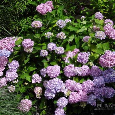Hydrangea macrophylla 'Nigra' -