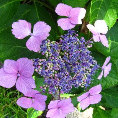 Hydrangea macrophylla 'Blue Wave' -