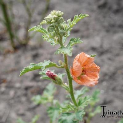 Sphaeralcea 'Childerley' -