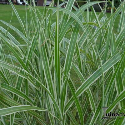 Miscanthus sinensis var. condensatus 'Cosmopolitan' - Prachtriet - Miscanthus sinensis var. condensatus 'Cosmopolitan'