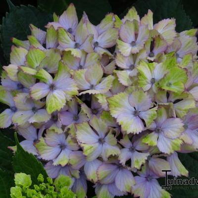 Hydrangea macrophylla 'Fantasia' -