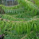 Rhus typhina 'Dissecta' - Rhus typhina 'Dissecta' - Fluweelboom, azijnboom