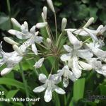Agapanthus 'White Dwarf '  - Agapanthus 'White Dwarf '  - Afrikaanse lelie