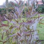 Dodonaea viscosa 'Purpurea' - Hoppestruik