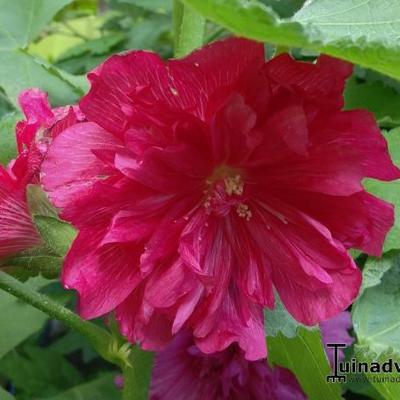 Alcea rosea 'SPRING CELEBRITIES Carmine Rose' -