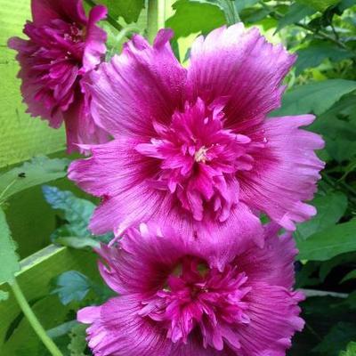 Alcea rosea  'SPRING CELEBRITIES Purple' -