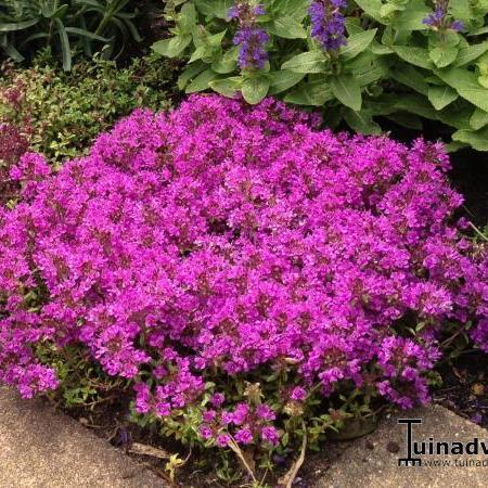 Thymus praecox 'Red Carpet'