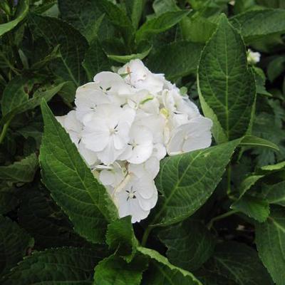 Hydrangea macrophylla 'Immaculata' -