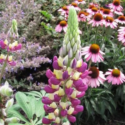 Echinacea 'Meditation' -