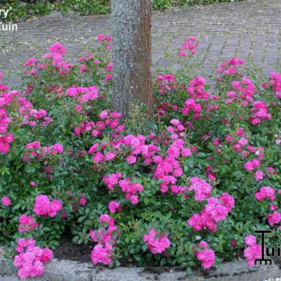 Rosa 'Lovely Fairy'  -