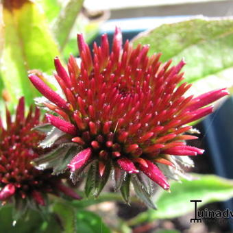 Echinacea '4th of July'