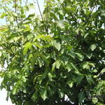 Juglans regia 'Broadview' - Walnoot, okkernoot