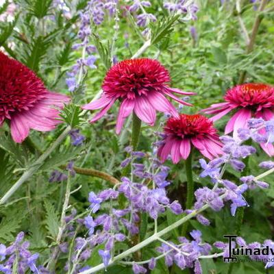 Echinacea purpurea 'Catharina' -