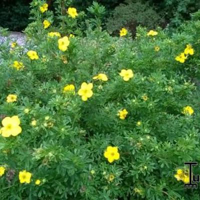 Potentilla fruticosa 'Goldfinger' - Struikganzerik - Potentilla fruticosa 'Goldfinger'