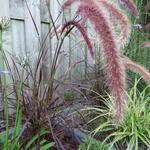 Pennisetum setaceum 'Summer Samba' - Lampepoetsergras - Pennisetum setaceum 'Summer Samba'