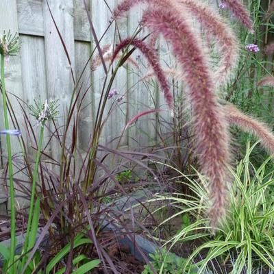 Pennisetum setaceum 'Summer Samba' -