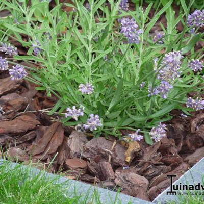 Lavandula angustifolia 'Felice' -