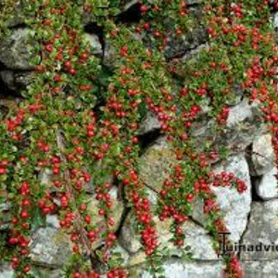 Cotoneaster procumbens 'Queen of Carpets' - Dwergmispel