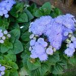 Ageratum houstonianum 'Blue Mink' - Ageratum houstonianum 'Blue Mink' - Mexicaantje, leverbalsem, donsbloem