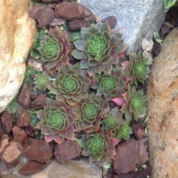Sempervivum 'Othello'